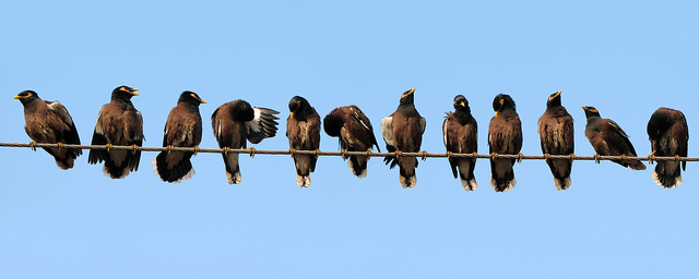 Indian mynas sitting on a wire